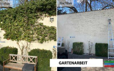 Efeu Mauer / Fassadenreinigung